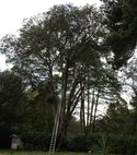 Square thumb v.large holm oak   pollard due to being disesed.