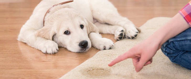 Guilty looking dog with someone pointing to stubborn stain on carpet