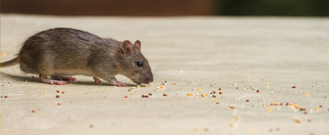 mouse eating crumbs