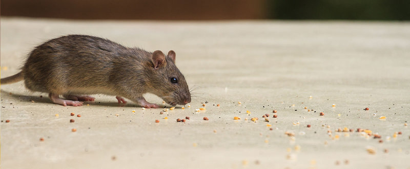 Pest control get rid of mice in the home fandeluxe Choice Image