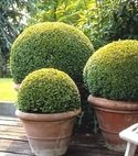 Square thumb buxus450