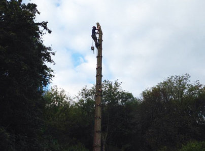 Primary thumb surrey tree surgeons   pine removal   2