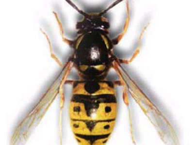 Primary thumb european wasp