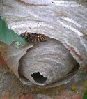 Square thumb wasp nest image