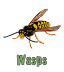 Square thumb wasps