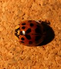 Square thumb harlequin ladybird 1 small